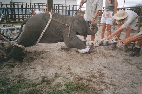 baby elephant training (PETA)