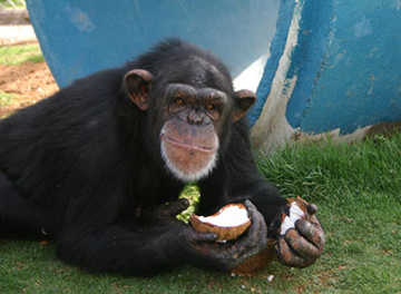 Pumpkin, a 24-year-old chimp