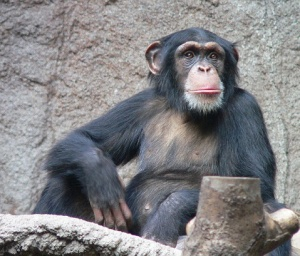 chimp on wikimedia