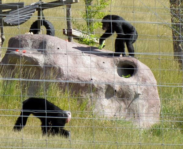 chimps on termite mound