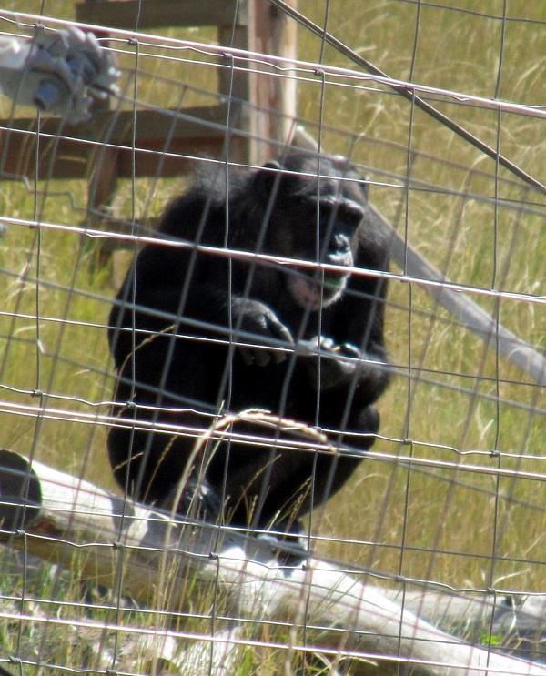 chimp on logs