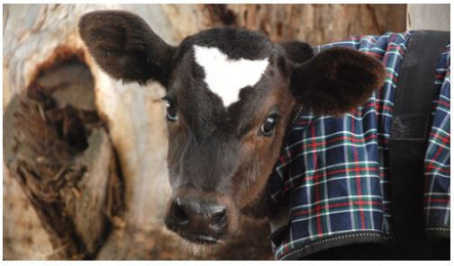 Norman was rescued from the veal industry and lives at Farm Sanctuary