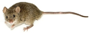 mouse from wikimedia