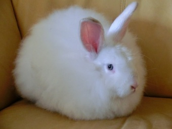 Angora Rabbit from http://commons.wikimedia.org/wiki/File:White_Satin_Angora_Rabbit.jpg