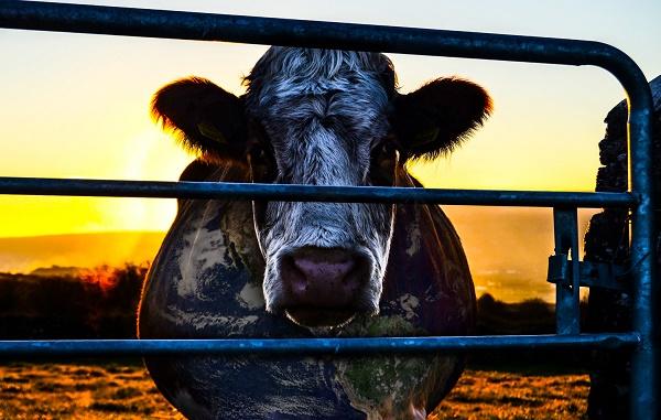 cowspiracy cow