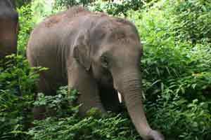 elephant c/o Elephant Nature Park
